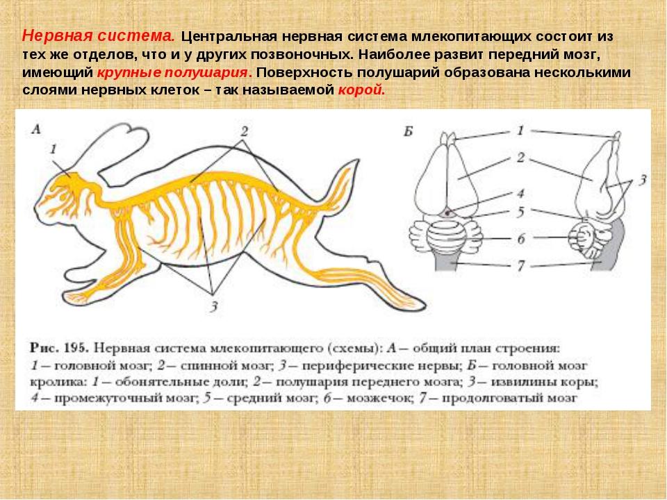 Нервная система. Центральная нервная система млекопитающих состоит из тех же...