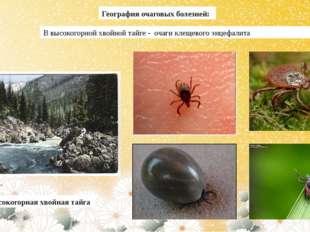 География очаговых болезней: В высокогорной хвойной тайге - очаги клещевого э