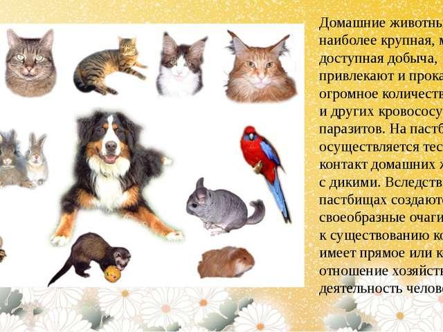 Домашние животные, как наиболее крупная, массовая и доступная добыча, привлек...