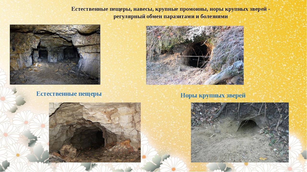 Естественные пещеры, навесы, крупные промоины, норы крупных зверей - регулярн...