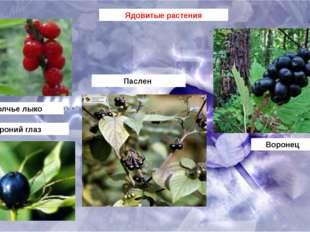 Ядовитые растения Волчье лыко Паслен Вороний глаз Воронец