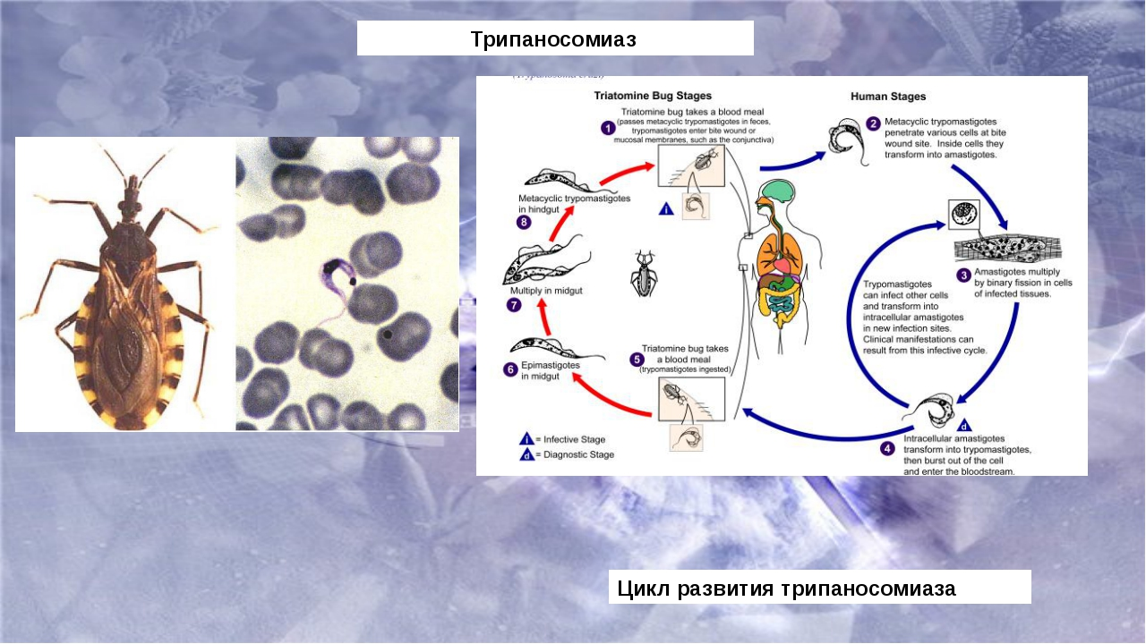 Трипаносомиаз Цикл развития трипаносомиаза