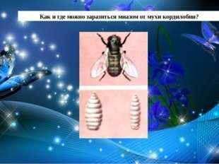 Как и где можно заразиться миазом от мухи кордилобии?