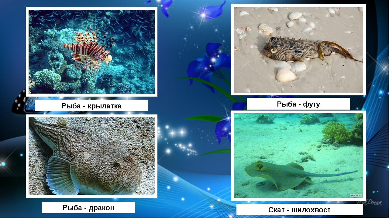 Рыба - фугу Скат - шилохвост Рыба - дракон Рыба - крылатка