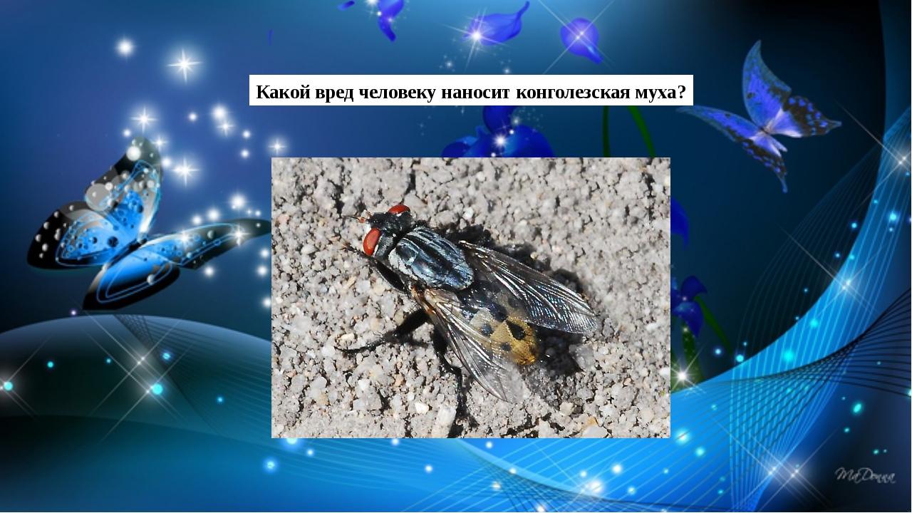 Какой вред человеку наносит конголезская муха?