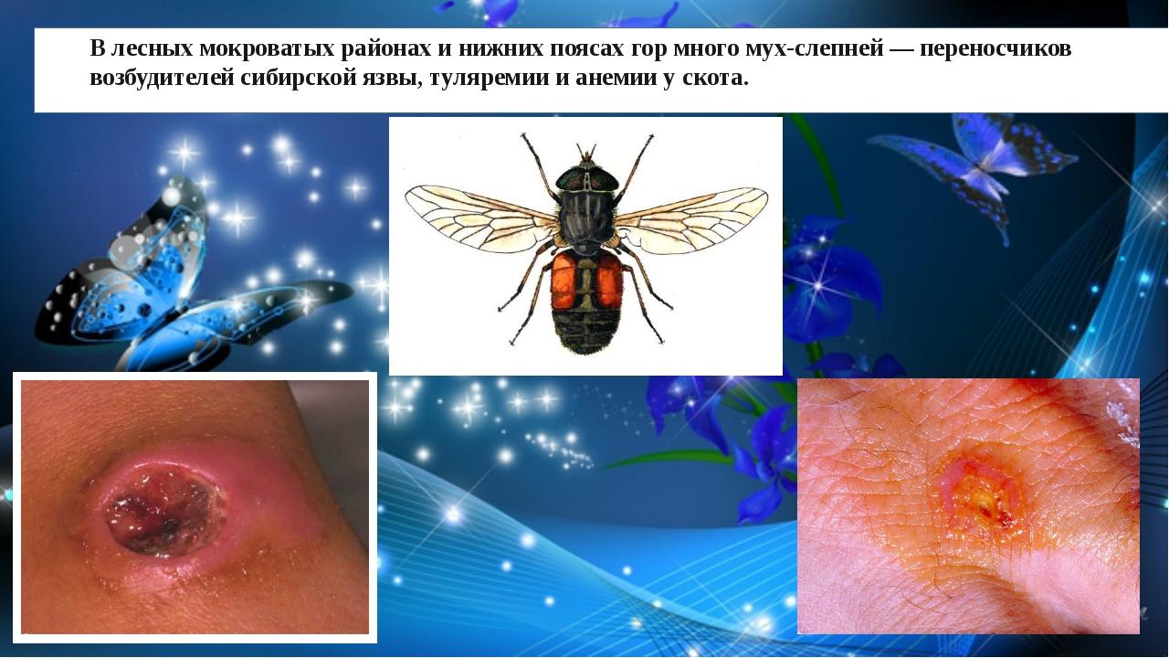 В лесных мокроватых районах и нижних поясах гор много мух-слепней — переносч...