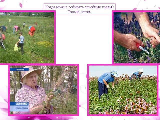 Когда можно собирать лечебные травы? Только летом.