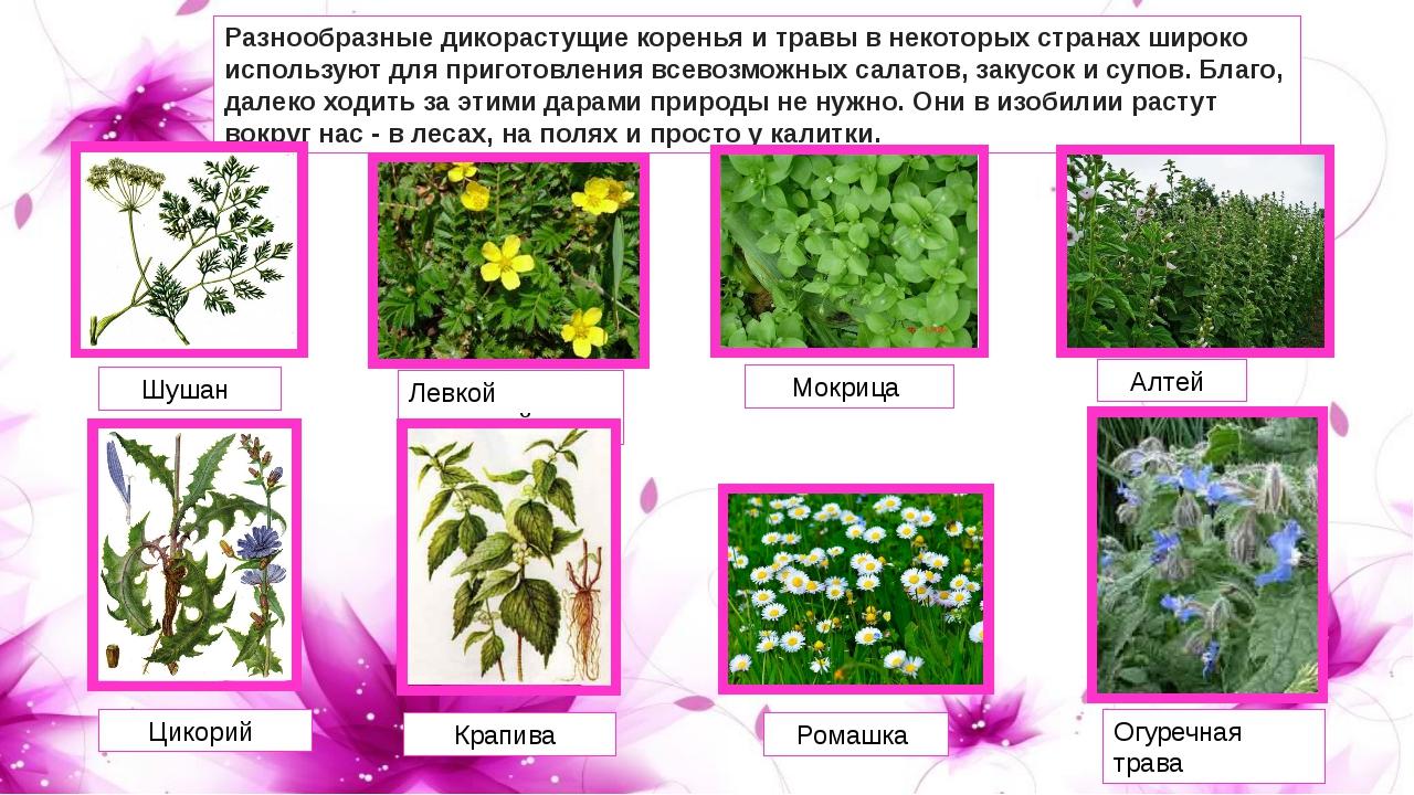 Разнообразные дикорастущие коренья и травы в некоторых странах широко использ...