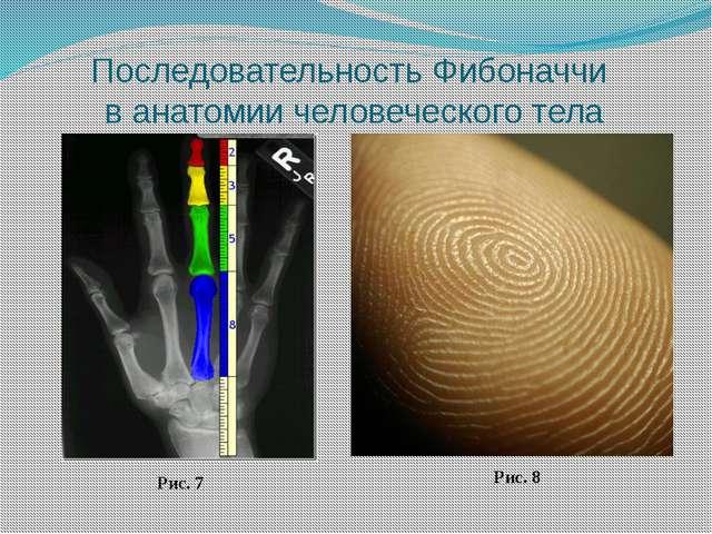 Последовательность Фибоначчи в анатомии человеческого тела Рис. 7 Рис. 8