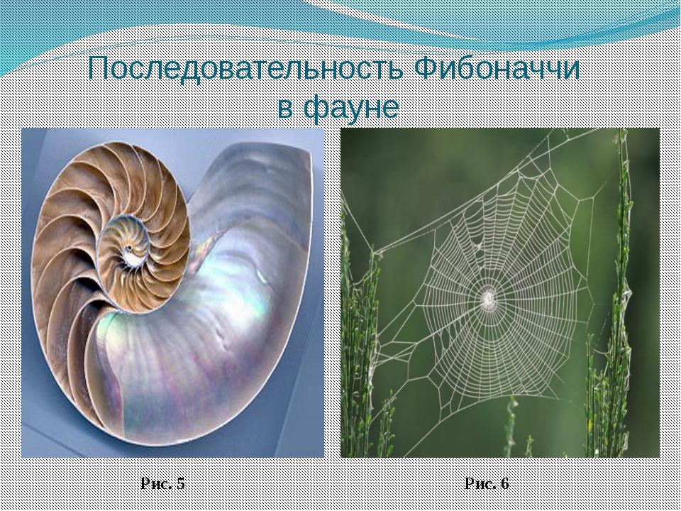 Последовательность Фибоначчи в фауне Рис. 5 Рис. 6