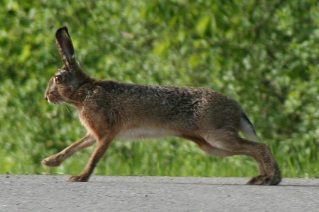 Русак или заяц-русак. Фото зайца-русака.