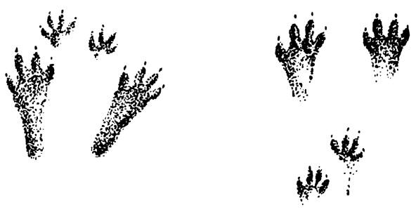 Заячья хитрость - По следам лесных зверей - Красная книга См…