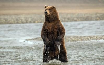 Медведь, лапы, когти, вода, стойка обои, фото, картинки