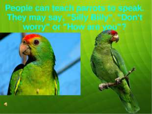 """People can teach parrots to speak. They may say, """"Silly Billy"""", """"Don't worry"""""""