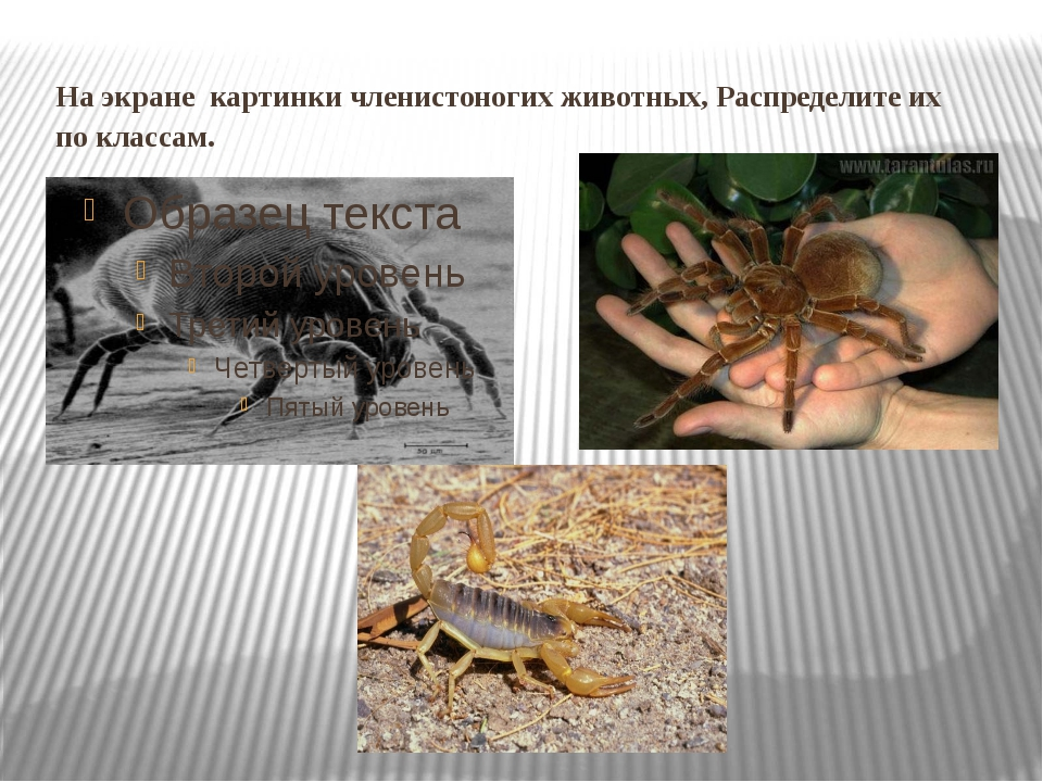 На экранекартинки членистоногих животных, Распределите их по классам.