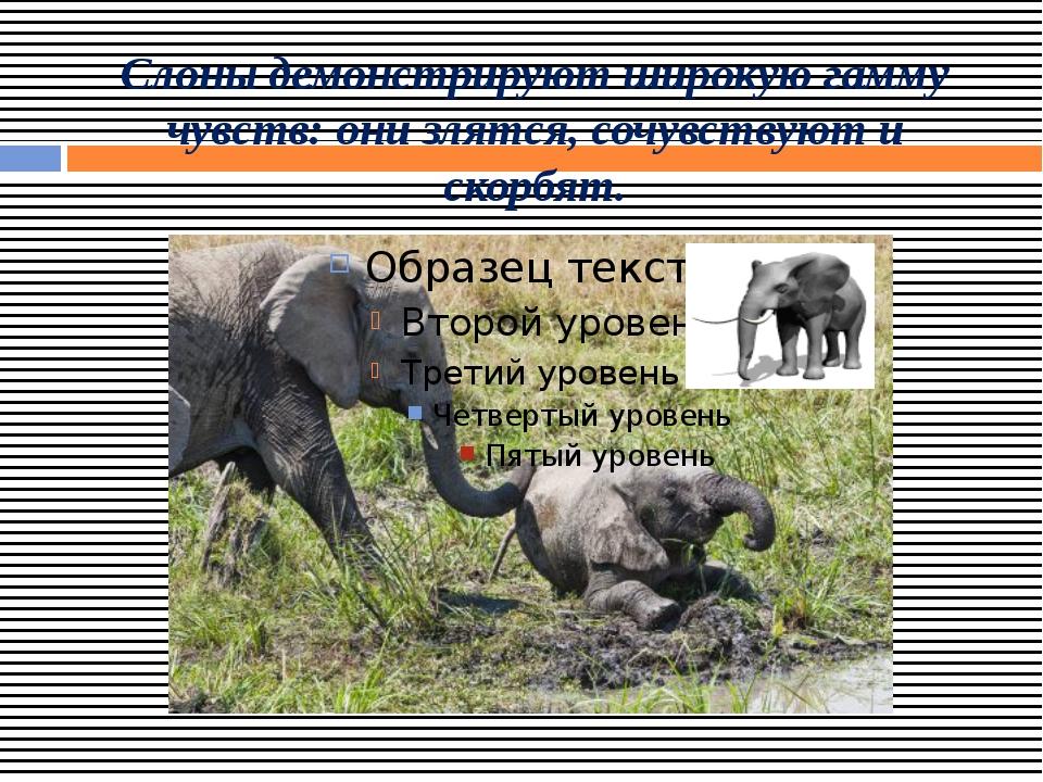 Слоны демонстрируют широкую гамму чувств: они злятся, сочувствуют и скорбят.