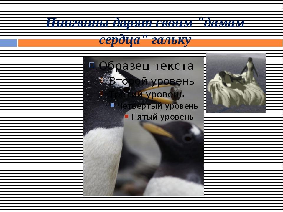 """Пингвины дарят своим """"дамам сердца"""" гальку"""