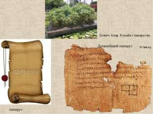 Египет. Каир. Клумба с папирусом. папирус Древнейший папирус