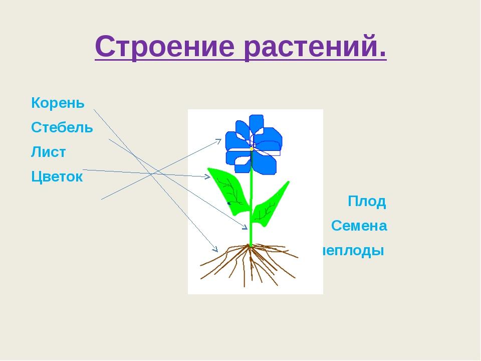 Строение растений. Корень Стебель Лист Цветок Плод Семена Корнеплоды