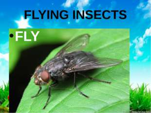 FLYING INSECTS FLY