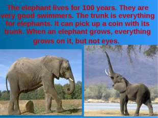 The elephant lives for 100 years. They are very good swimmers. The trunk is e