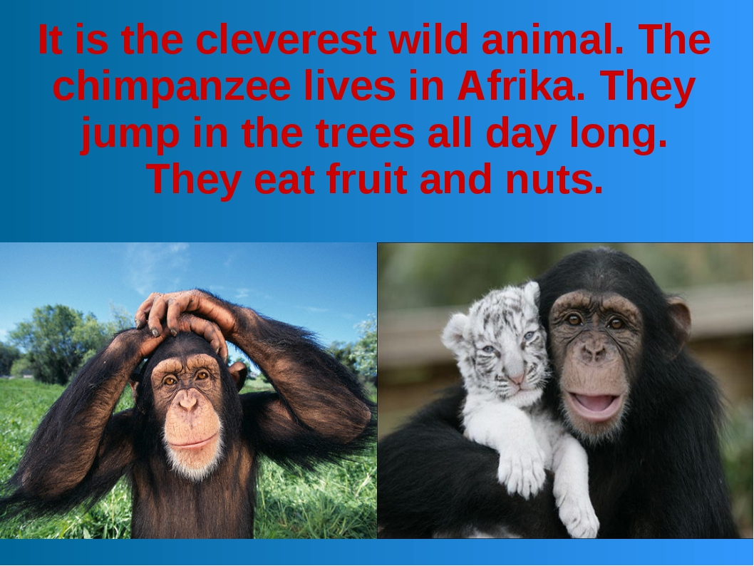 It is the cleverest wild animal. The chimpanzee lives in Afrika. They jump in...