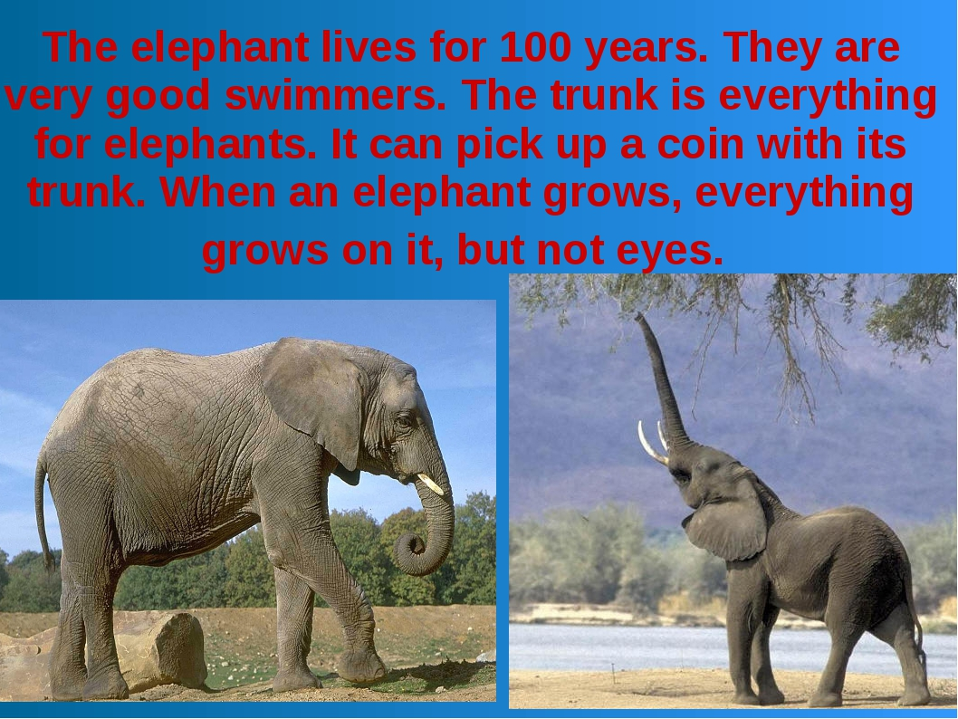 The elephant lives for 100 years. They are very good swimmers. The trunk is e...