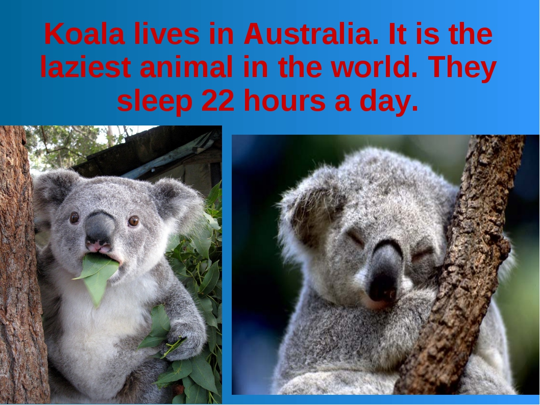 Koala lives in Australia. It is the laziest animal in the world. They sleep 2...