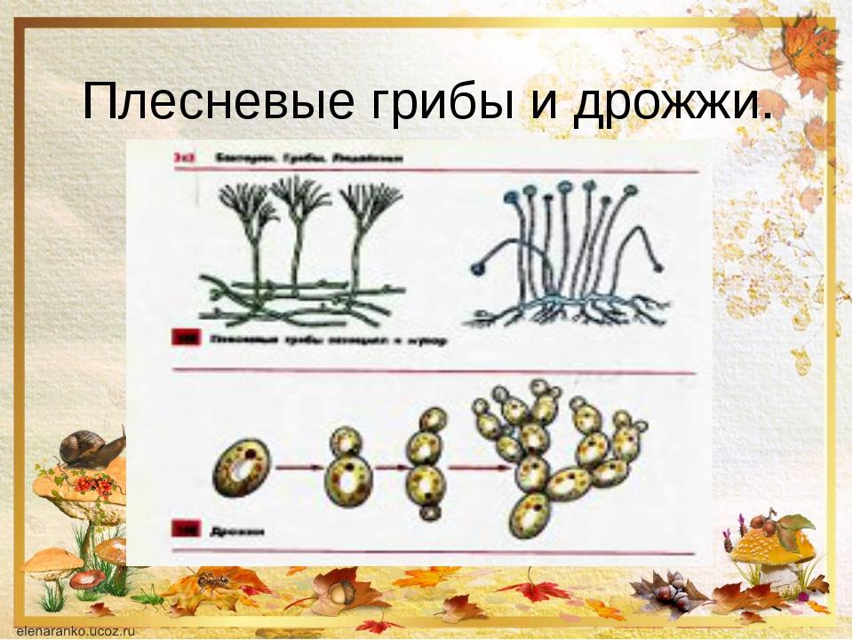 Плесневые грибы и дрожжи.