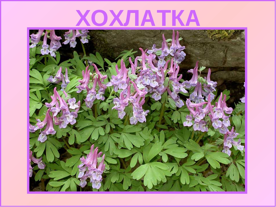 Хохлатка 2014-05-07