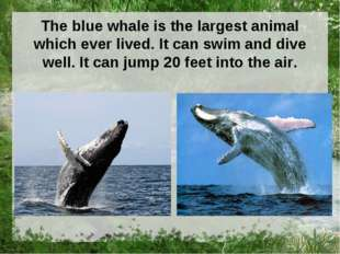 The blue whale is the largest animal which ever lived. It can swim and dive w