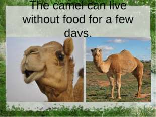 The camel can live without food for a few days.