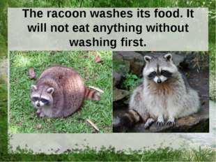 The racoon washes its food. It will not eat anything without washing first.