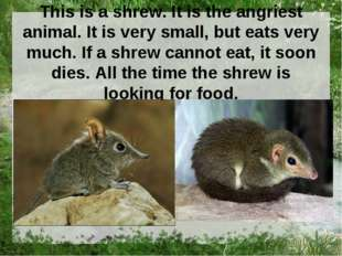 This is a shrew. It is the angriest animal. It is very small, but eats very m