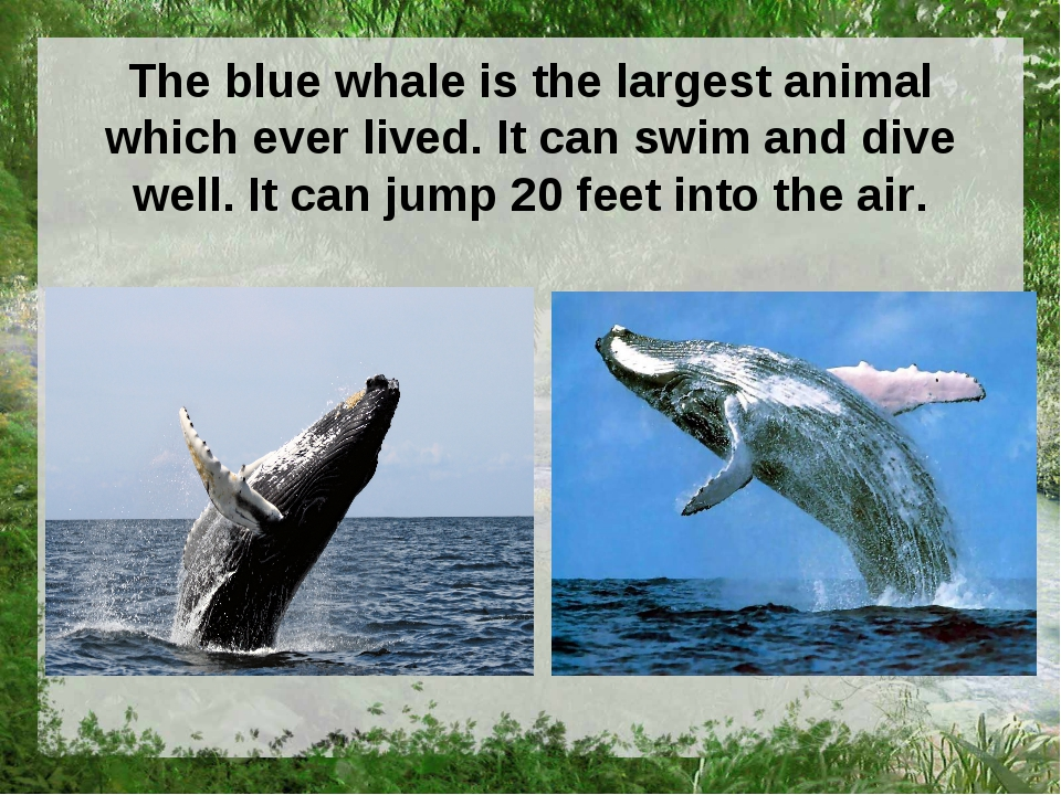 The blue whale is the largest animal which ever lived. It can swim and dive w...