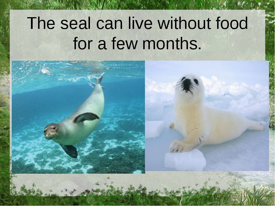 The seal can live without food for a few months.