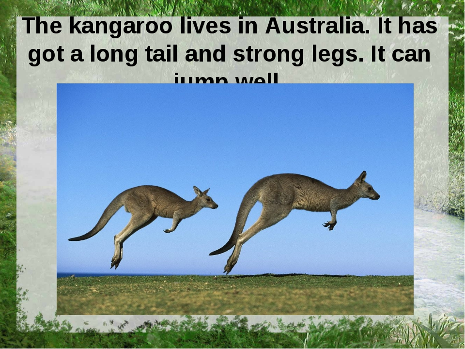 The kangaroo lives in Australia. It has got a long tail and strong legs. It c...