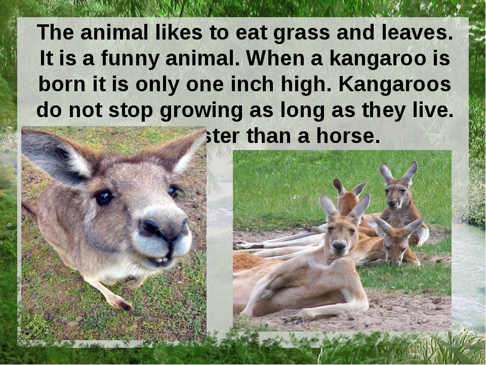 The animal likes to eat grass and leaves. It is a funny animal. When a kangar...