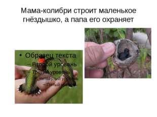 Мама-колибри строит маленькое гнёздышко, а папа его охраняет