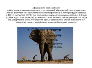 Африканский саванный слон. самое крупное наземное животное – это саванный афр