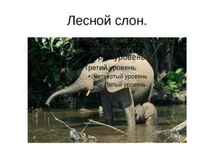 Лесной слон.