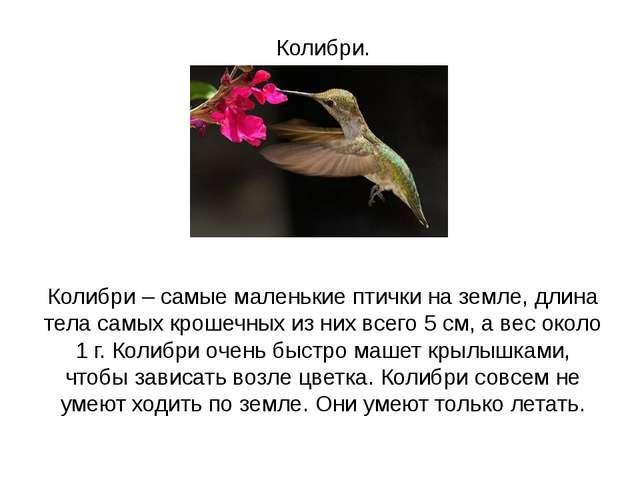 Колибри. Колибри – самые маленькие птички на земле, длина тела самых крошечн...