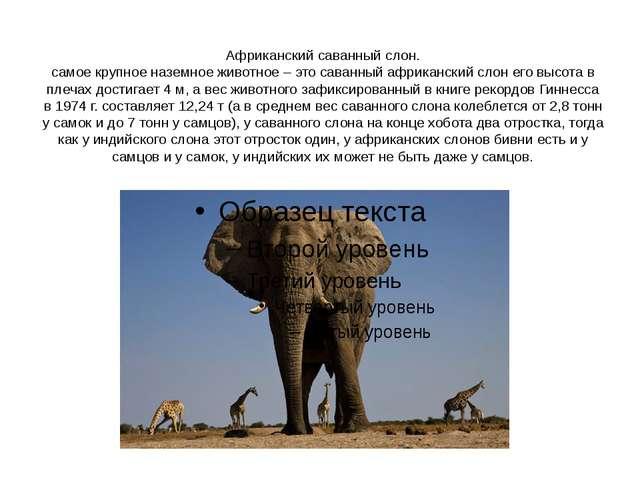 Африканский саванный слон. самое крупное наземное животное – это саванный афр...