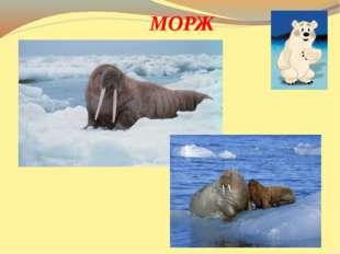 Крупный зверь, имеет бивни, Но не те, что у слонов, Вместо ног - имеет ласт