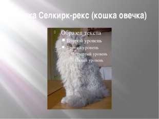Кошка Селкирк-рекс (кошка овечка)
