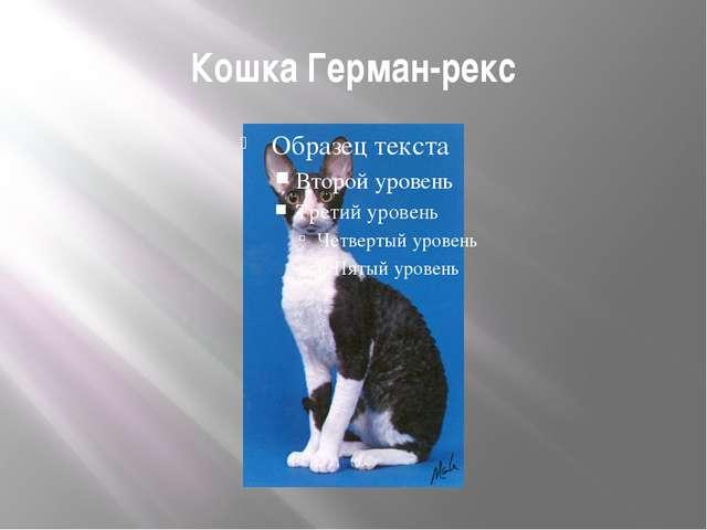 Кошка Герман-рекс