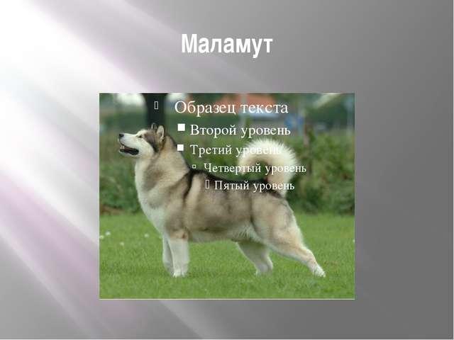 Маламут