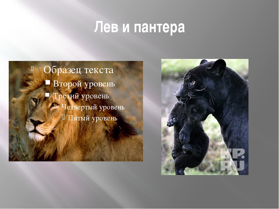 Лев и пантера