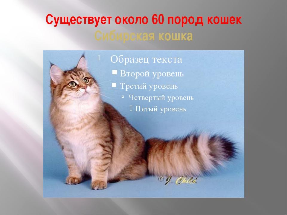 Существует около 60 пород кошек Сибирская кошка