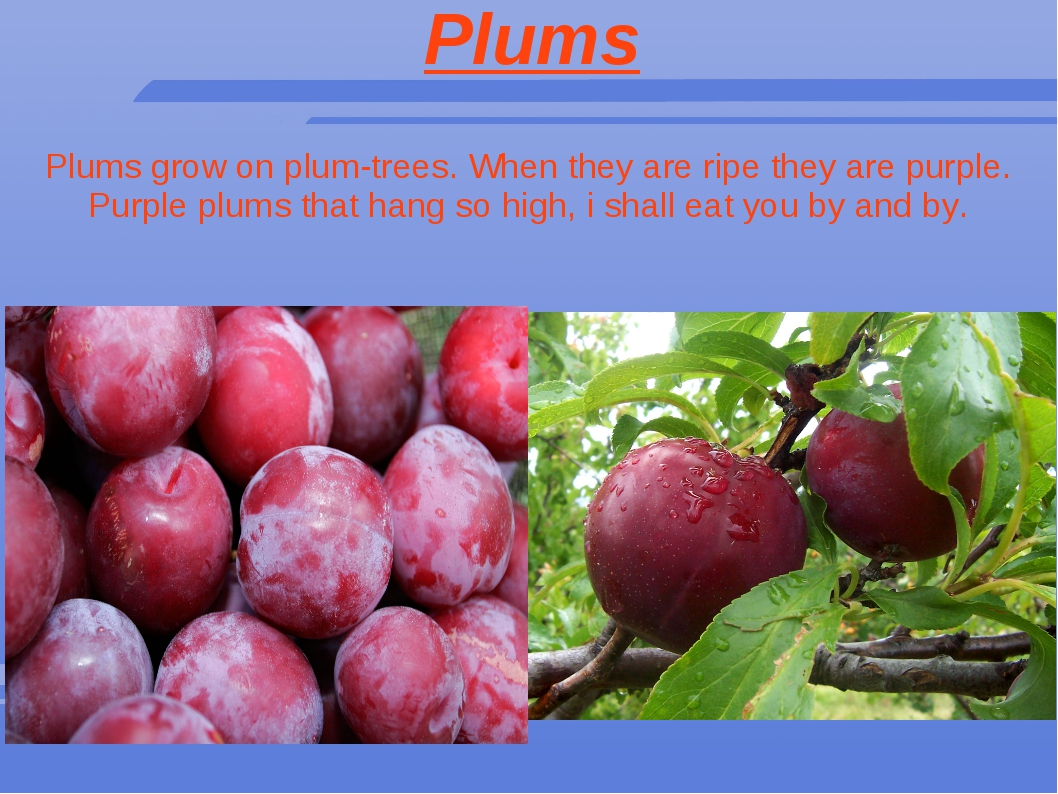 Plums Plums grow on plum-trees. When they are ripe they are purple. Purple pl...